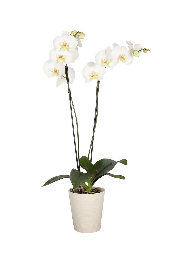 Give traditional Mother's Day flowers an upgrade with this gorgeous double orchi...